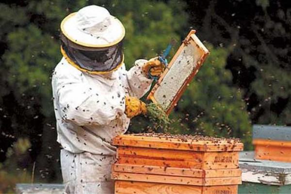 apicul