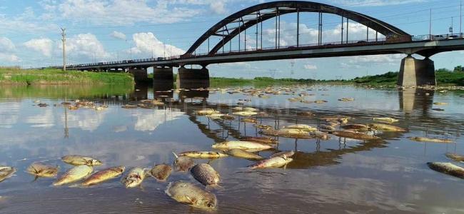 Hallaron herbicidas e insecticidas en el Salado y en los peces muertos